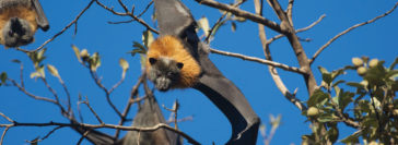 Grey-headed flying-fox - Nick Edards