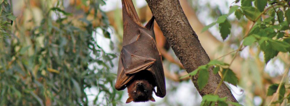 Year 6 The flying-fox habitat