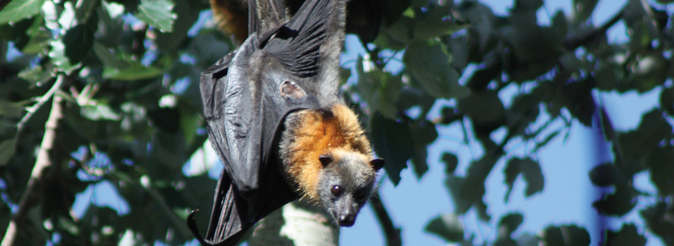 Year 7 Where do flying-foxes fit in?