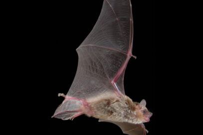 Inland broad-nosed bat