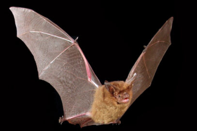 Eastern long-eared bat