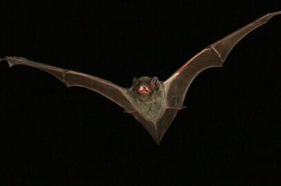 Hoary wattled bat