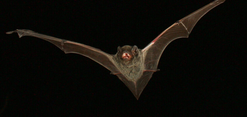 Chalinolobus nigrogriseus - Michael Pennay
