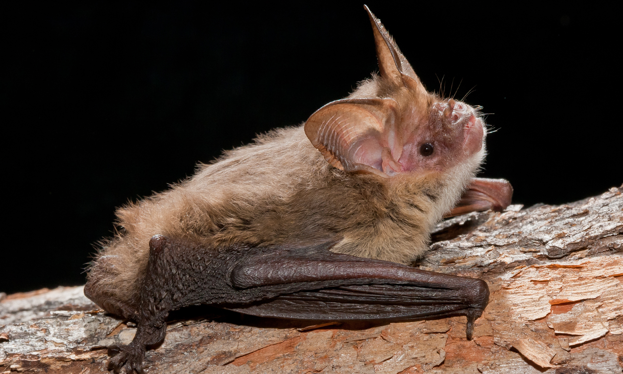 Micro-bats of the Burnett Mary