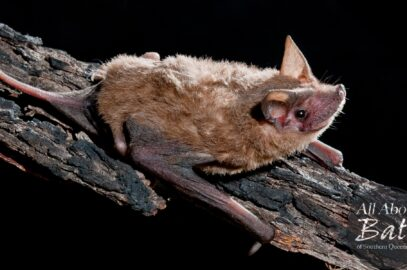 Northern freetail bat