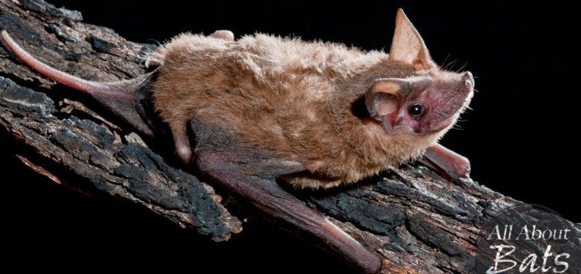 Northern freetail bat