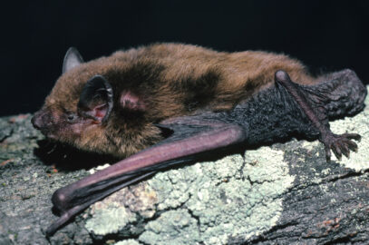 Little broad-nosed bat