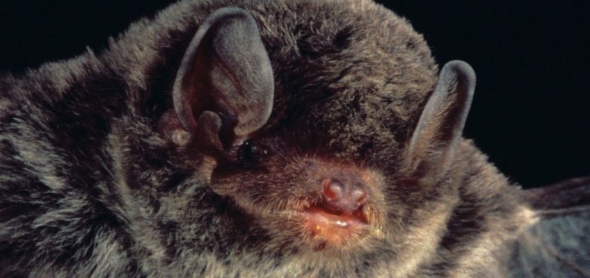 Little bent-wing bat