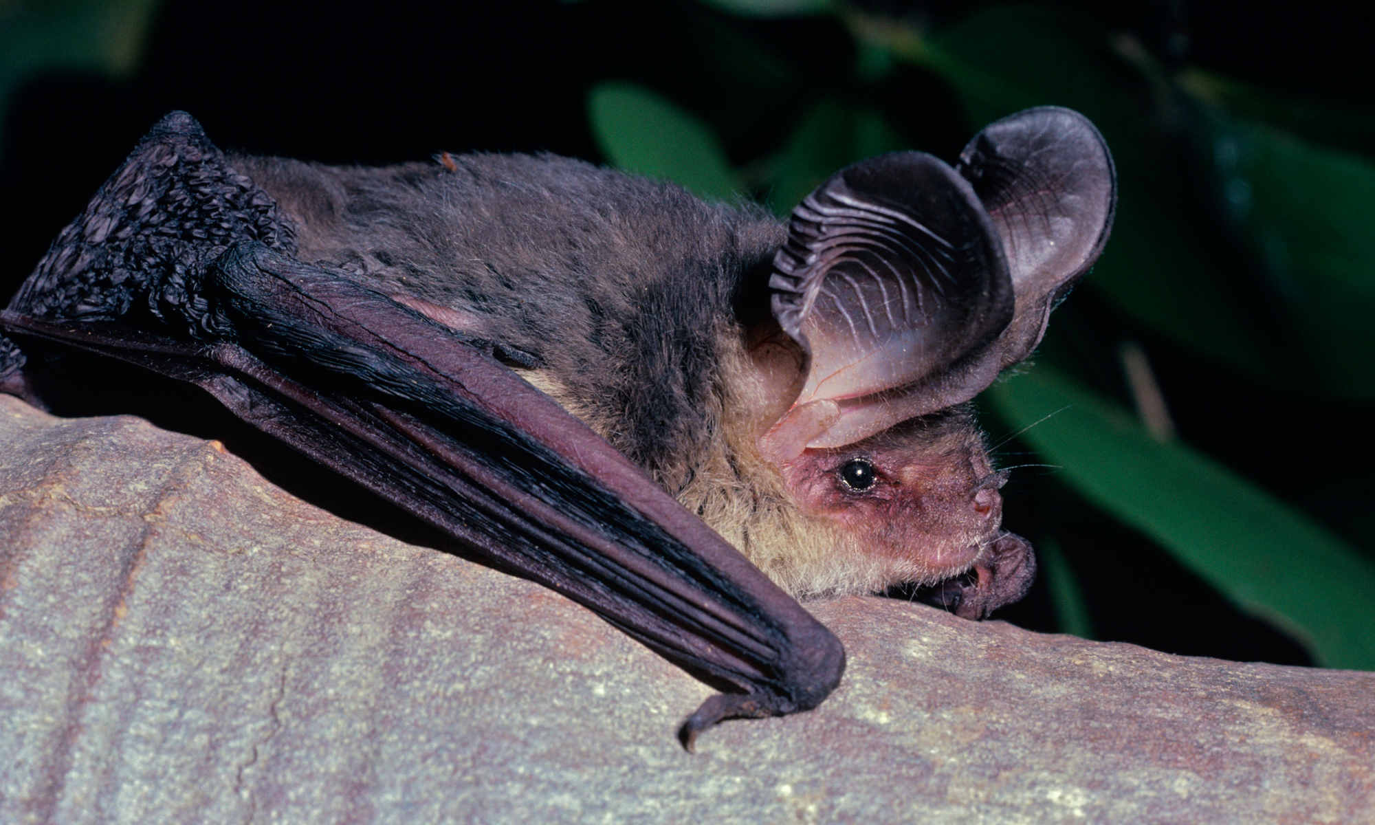 gould s long eared bat all about bats