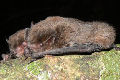 Eastern forest bat