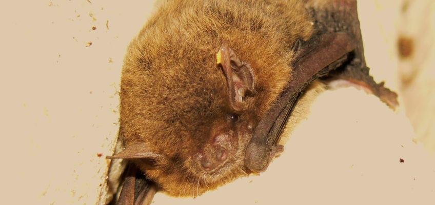 Eastern cave bat