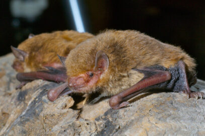 Eastern broad-nosed bat