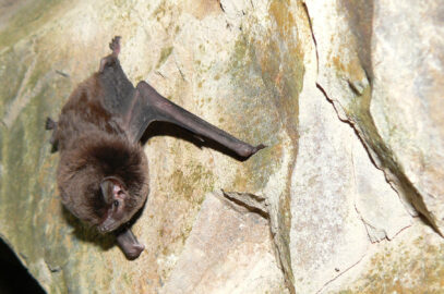 Eastern bent-wing bat
