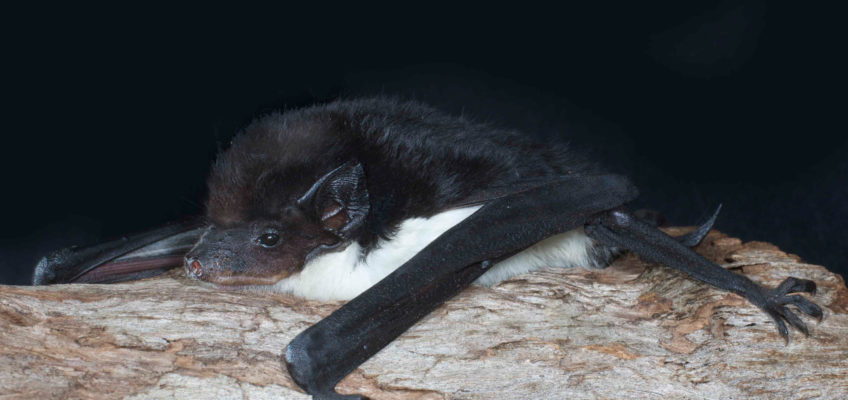 Yellow-bellied sheathtail bat