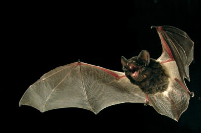 Large-eared pied bat