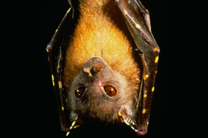 Eastern tube-nosed bat