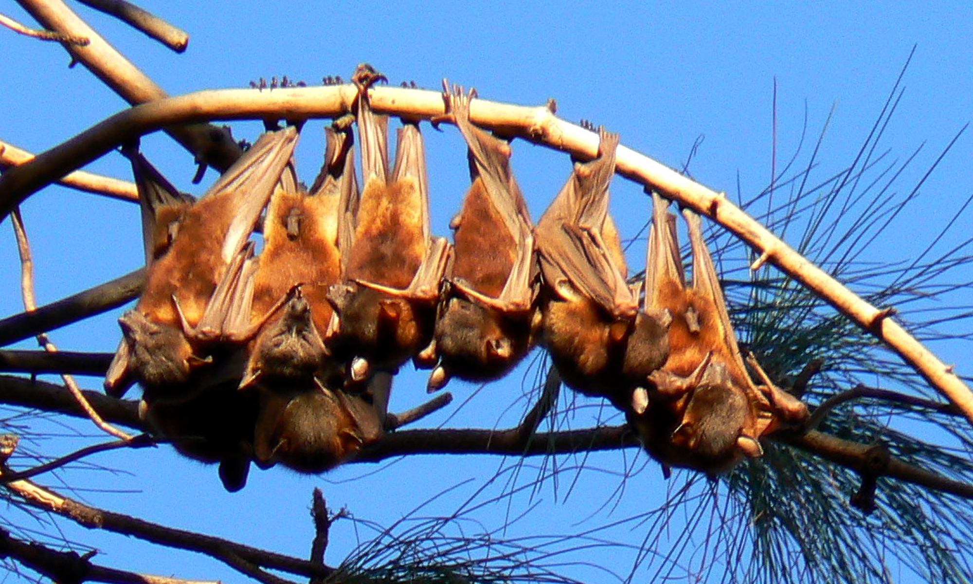 Study flying-foxes