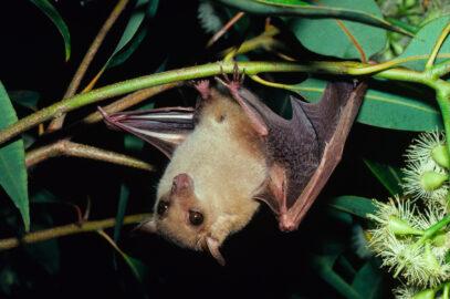 Common blossom bat