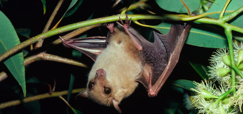 Common blossom bat