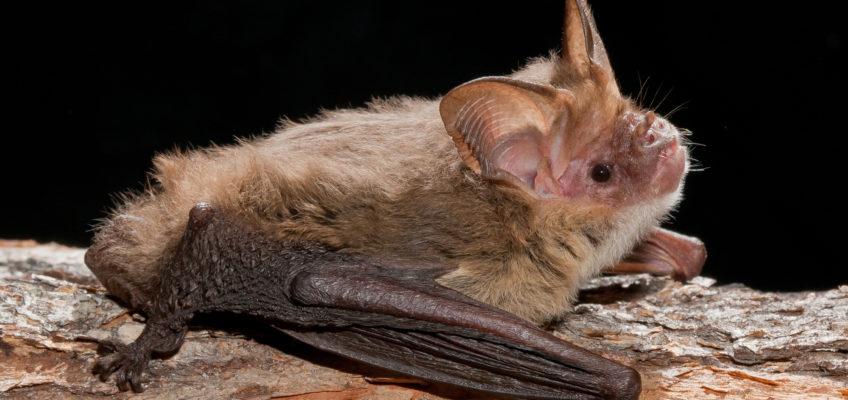 Corben's Long-eared Bat