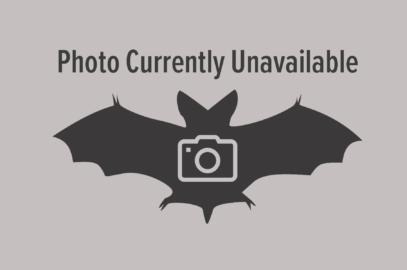 Troughton's sheathtail bat
