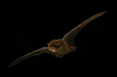 Southern forest bat