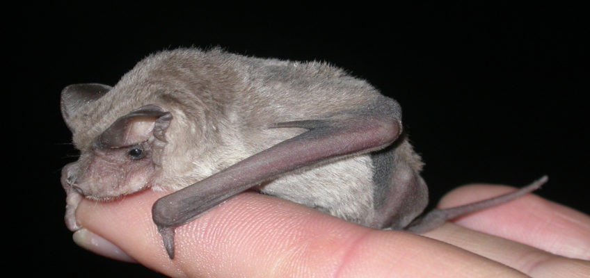 Eastern freetail bat