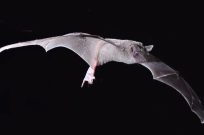 Inland freetail bat