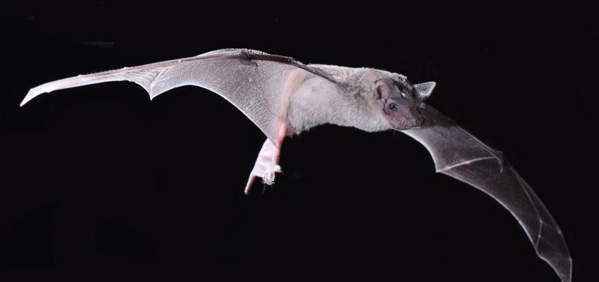 Inland freetail bat