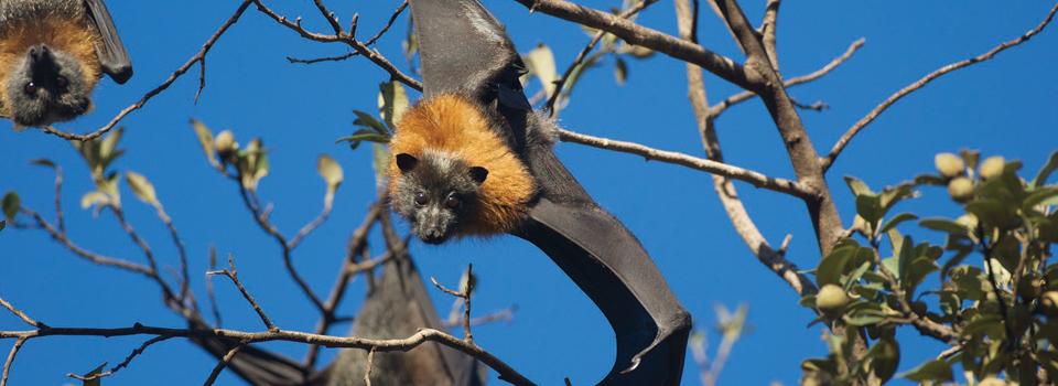 Grey-headed flying-fox - Nick Edards