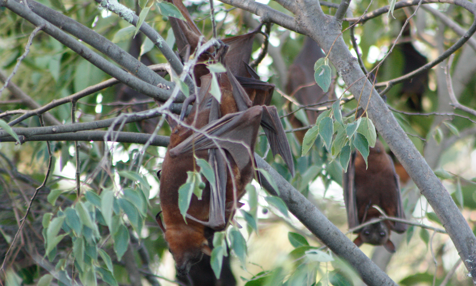Little-red flying-foxes mating © Kelly Coleman