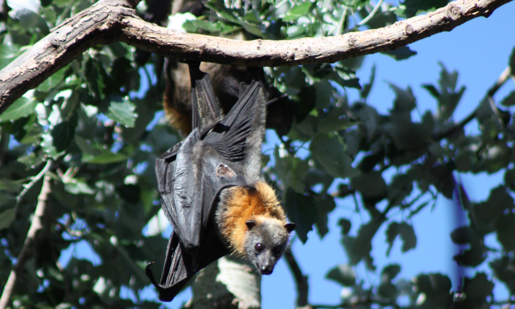 Mega-bats of the Burnett Mary