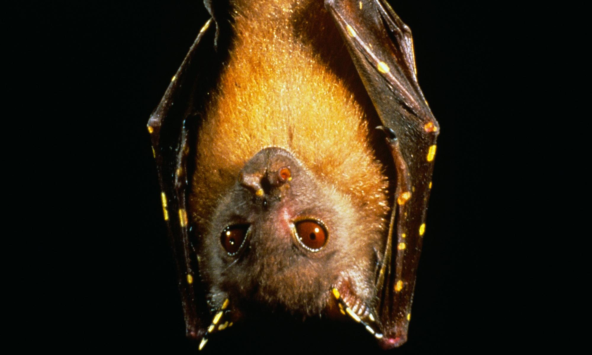 Queensland Tube-Nosed Fruit Bat