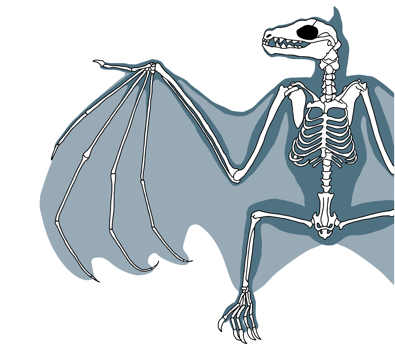 Bat Skeleton Diagram © Kelly Coleman